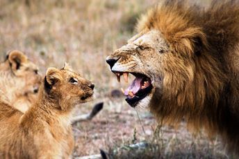 Kenya Lion Naughty little cubs.jpg