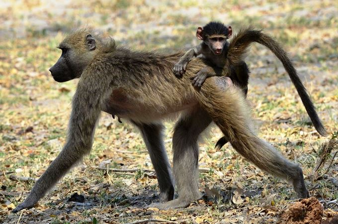 Botswana - Baboon and baby - Kwando Safaris.jpg