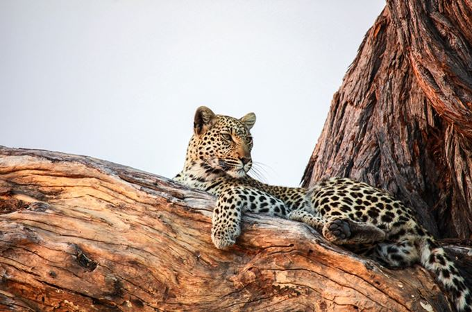 Botswana - Leopard in a tree - Credit Kwando Safaris.jpg