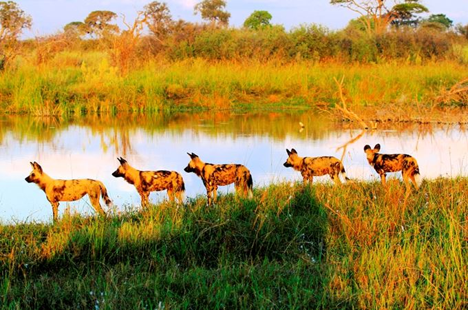 Botswana - Wild dog - Credit to Kwando Safaris.jpg
