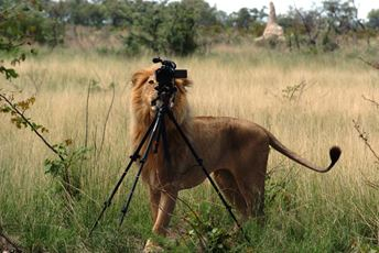 Photography Lion taking pics.jpg