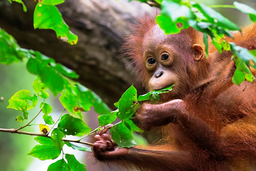 Baby Orangutan in tree.jpg