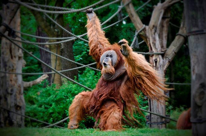 Borneo 'Critically Endangered' Orangutans - The Explorations Co