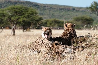 Africa - Cheetah - two Cheetahs observing prey.jpg