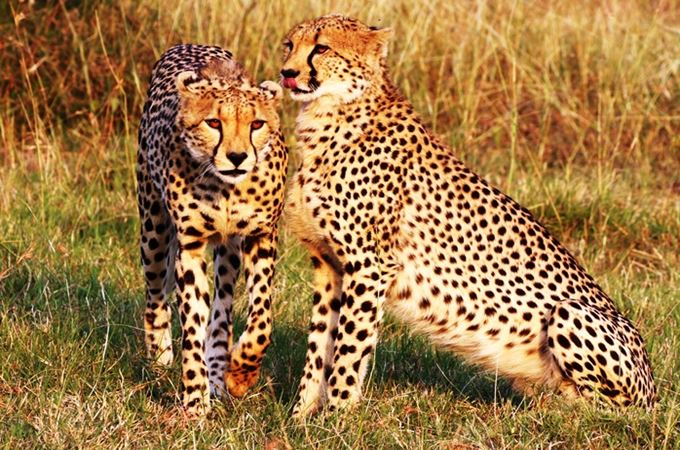 Africa - South Africa - Cheetah.jpg