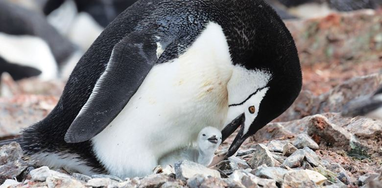 Polar Regions - Antarctica - Antarctic Continent - Chinstrap Penguin and chick - Polar Latitudes.jpg