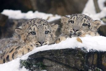 Asia - endangered - snow leopards 1.jpg
