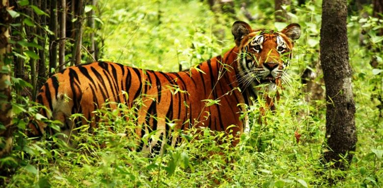 Chitwan National Park - Nepal - Tiger - 9&10.jpg
