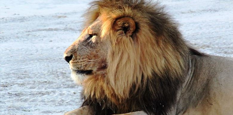 Zimbabwe - Changa Camp -Male Lion - 2.jpg