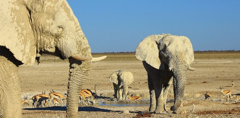 Desert dwelling elephants in Etosha Namibia at wateringhole
