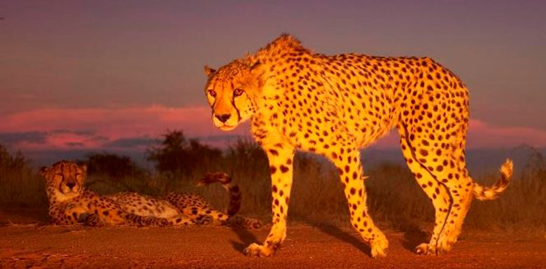 11 Okonjima Plains Camp - Namibia - Cheetah tracking.jpg