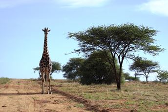 Giraffe on the plains at Okonjima Plains Camp