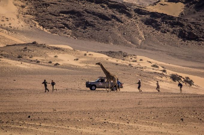 team with landrover following giraffe to catch and collar