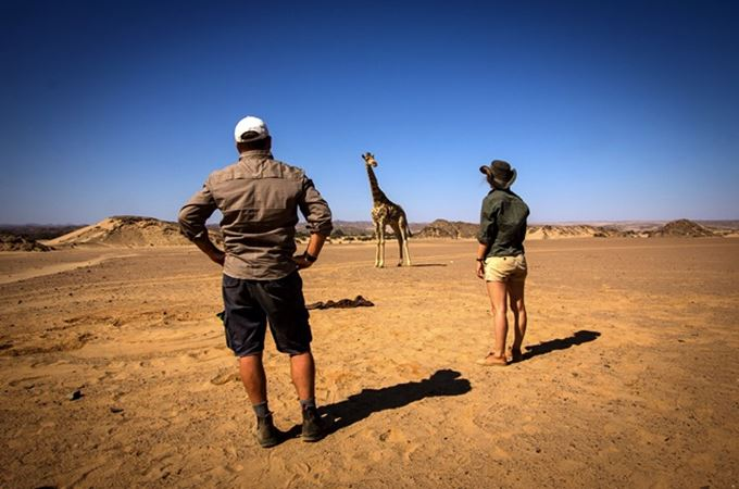 team about to capture and collar a giraffe
