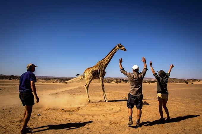 capturing giraffe to collar - namibia conservation