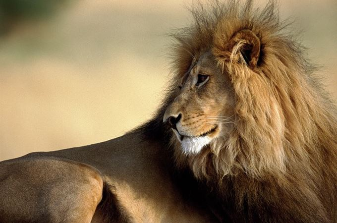 close up of a male desert lion in Namibia