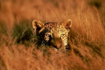 Leopard hiding in the grass in Okonjima Namibia