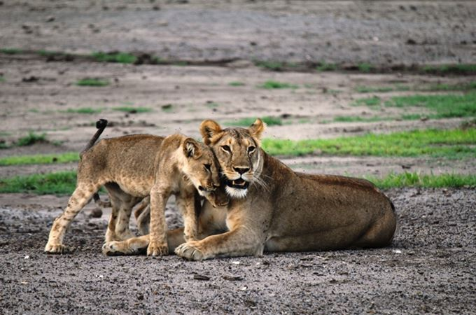 Tanzania - lioness-and-young-cub - collaring.jpg