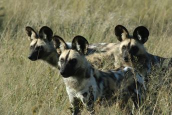 Africa - Conservation - Wilddog - Collaring safaris.jpg