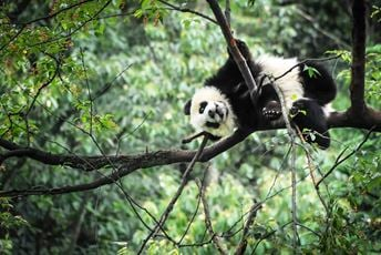 Chengdu, China, The Panda Tree, Photo Credit Aaron Berkovich.jpg