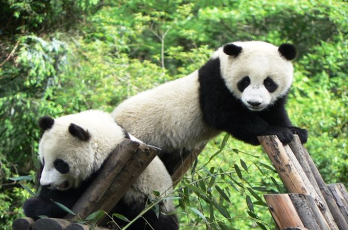 Young pandas in the Chengdu Research Center.jpg