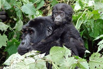 Uganda - Clouds-mother-baby-gorilla.jpg
