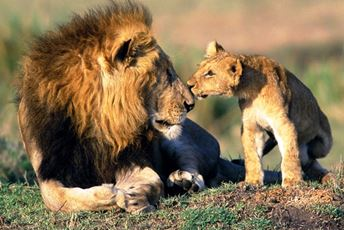 Beautiful Africa mail lion and baby cub.jpg