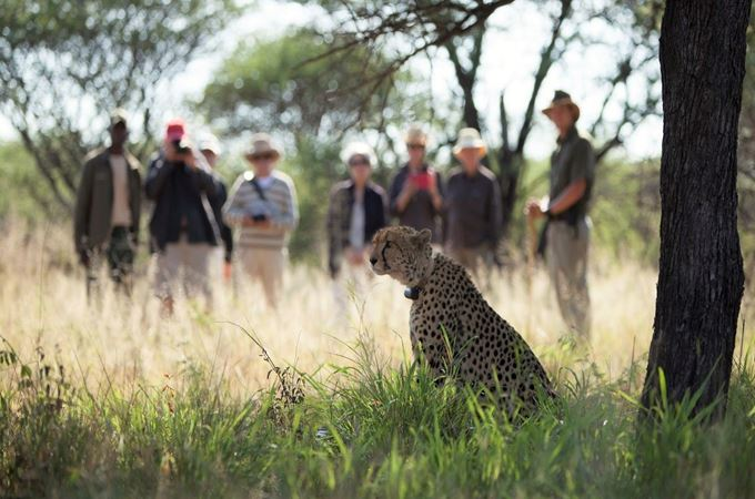 Tracking cheetah on Okonjima wildlife reserve under tree