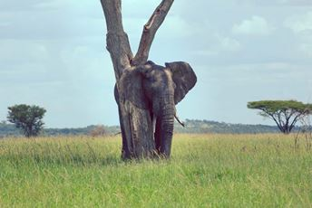 Singita - elephant leaning on tree.jpg