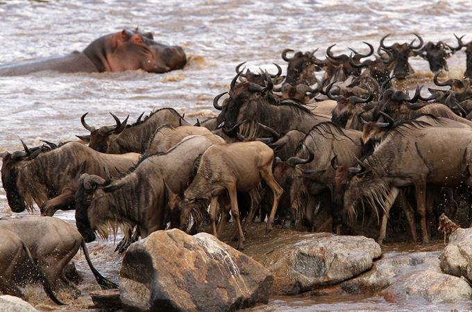 Wildebeest migrating crossing the river