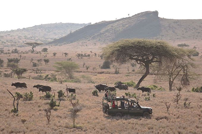 Buffalo in Lewa Kenya