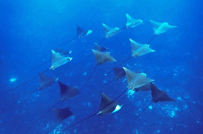 A school of spotted eagle ray in the waters of the seychelles