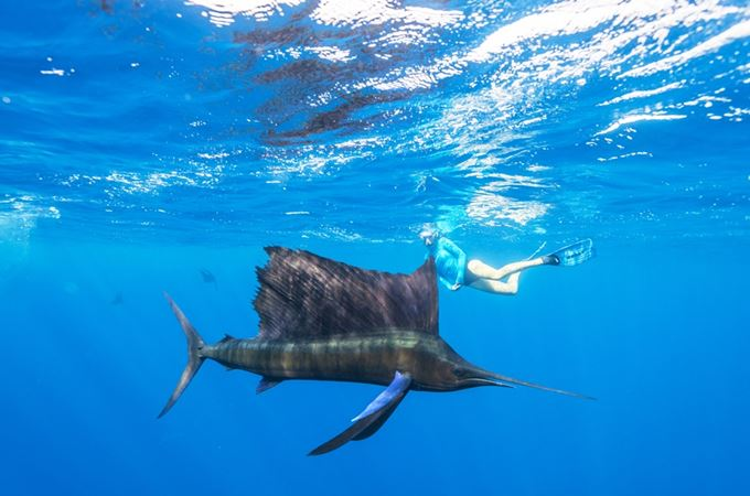 Snorkelling with Sailfish in the waters of the outer Seychelles