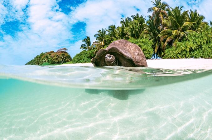 Tortoise swimming in the ocean with outer seychelles island behind