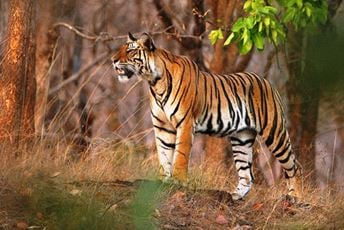 India - Tiger - Saleel Tambe.jpg
