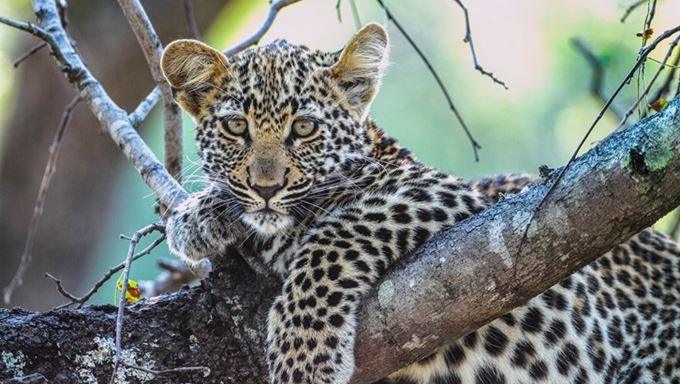South Africa - Royal Malewane -Leopard Cub.jpg
