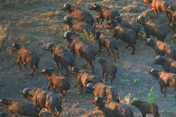 Mozambique - Gorongosa - buffalo.jpg