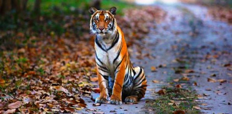 2a -Tiger-from-the-terai - Pilibhit Tiger Reserve - India.jpg