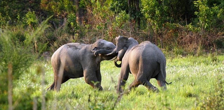 4- India - Asian Elephants - Tusker Tussle.jpg