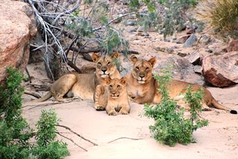 Namibia - Two Female Desert lions with a cub.jpg