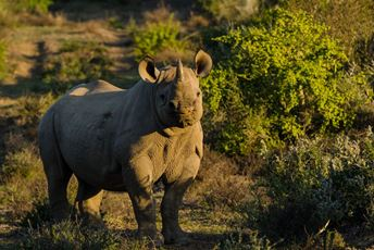 South Africa - Kwandwe Rhino conservation.jpg