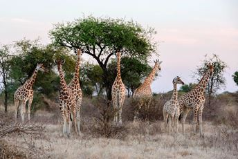 Chad - Zakouma National Park - Giraffe Family.jpg
