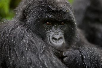 Bwindi Lodge Gorilla - Copyright Volcanoes Safaris.jpg