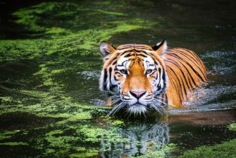 India Endangered Tiger in Waterhole.jpg
