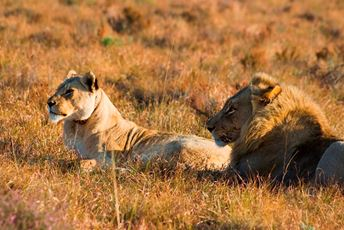 Tanzania Large lion and lioness with collar.jpg