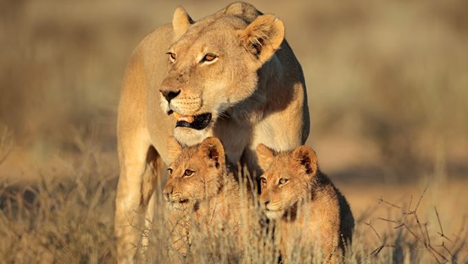 Namibia - Desert Lioness with cubs.jpg