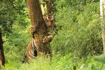 A tiger sighting near Singinawa Jungle Lodge in Madhya Pradesh.jpg