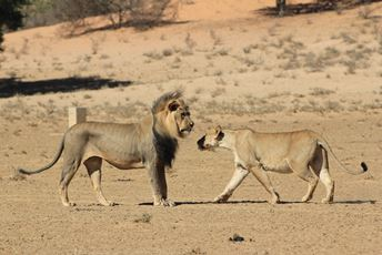 Namibia lion lioness greeting desert wildlife safari.jpg