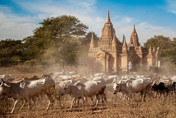 Myanmar - Bagan temples and cattle - Khiri.jpg