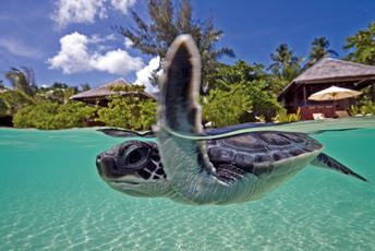Indonesia family holiday - Wakatobi dive resort - turtle hatchling in ocean.jpg